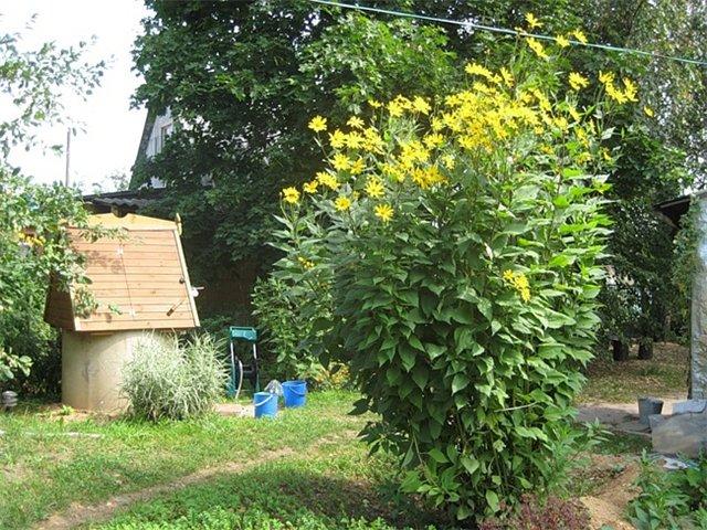 Топинамбур - целебный солнечный корень