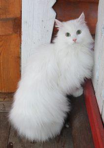 кот Пушок