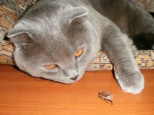 кот с майским жуком